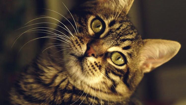 head tilt cat